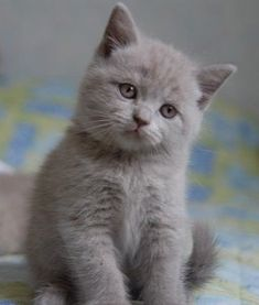 Fairies love kittens sooooo  much. This little British Blue Shorthair is cat perfection!