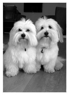 Loving, Playful, Hypoallergenic Coton De Tulear Puppies For Sale
