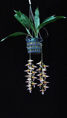 Gongora horichiana | #orchids
