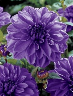 Consider dahlia bulbs to deliver summertime color and style. Dahlias come in a range of hues and forms. Plant dahlia tubers in sunny areas for best results. Purple Dahlia, Purple Flowers, Dahlia Flowers, Red Purple, Tulips, Amazing Flowers, Beautiful Flowers, Simply Beautiful, Purple Garden
