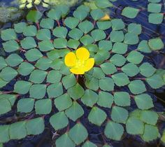 Mosaic Plant. Ludwigia sidioides, by katy.yanos...... Can you see the flower of life?!