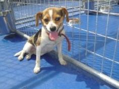 Pixie is an adoptable Beagle Dog in Charles City, VA. 'Pixie' is a 1-year old owner surrender to the Charles City, VA pound - said they didn't want her anymore. She looks to be a beagle/JRT mix (or 'j...
