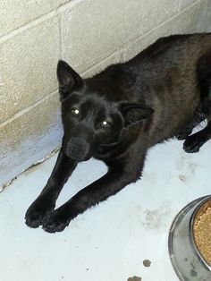 Petfinder Adoptable | Dog | Schipperke | Commerce, TX | Mia