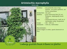 Duitse pijp - Aristolochia macrophylla