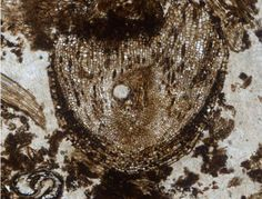 The holotype fossil of Radix caronica (growing root).