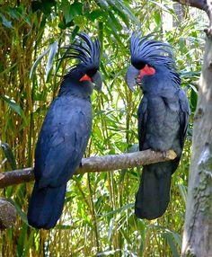 Palm Cockatoos, Indonesia, Papua New Guinea, & Australia