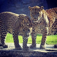 Conmover con la #BELLEZA para transformar conductas, con un objetivo: concienciar a todas las personas sobre la necesidad de conservar el #MEDIOAMBIENTE. #ExperienciasBioparc | Foto: #Leopardos. Madre y cachorro en el bosque ecuatorial de #BIOPARC #Valencia | #Leopards - #BioparcValencia | #Bioparco #Биопарк #Валенсии #igersValencia #photoanimals #photography #travelphotography #travelgram #picoftheday #ComunitatValenciana #lleopard #animallover #animalsco #animal #animale #animals #animali…