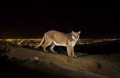The lights of Hollywood glow behind P-22, a 125-pound mountain lion in Griffith Park. The photo was taken by Steve Winter