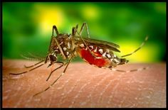 The number of Dengue cases in Mysuru district is increasing day by day. Even though the district administration took so many measures to control dengue disease, people are worried. No the mosquito bats and papaya fruit have so much demand in the city. Zika Virus, Dengue Virus, Treatment For Mosquito Bites, Remedies For Mosquito Bites, Mosquitos Da Dengue, Kill Mosquitoes, Lemon Eucalyptus Oil, Dengue Fever, Natural Mosquito Repellant