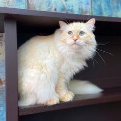 #petclubsa #siberiancat #catsofinstagram #bestmeow #cats #cat #weeklyfluff #nevamasquerade #cute #aww #blueeyes #ragdoll #siberiancats #mainecoon #catloversclub #siberiancatsofinstagram #catstocker #excellent_kittens #excellent_cats #siberianodyssey #fluffy_n_adorable #catstagram #cattitude #catoftheday #siberian #cats_of_instagram #kitten #catlovers #sassy #instacat Siberian Cat, Maine Coon, Cat Day, Cats Of Instagram, Sassy, Cat Lovers, Kittens, Cute Animals, Club