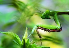 Does a Praying Mantis Bite and Hurt? Pictures Of Insects, Insect Photos, Fotografia Macro, Macro Photography Tips, Photography Camera, Go To Camera, Mantis Religiosa, Insect Species, Human Ear