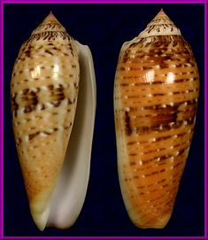 Conus dusaveli (H. Adams, 1872)    Cebu, Philippines (86 mm.)