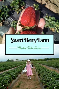 Pick Your Own Strawberries at Sweet Berry Farm in Marble Falls, near Austin, Texas.