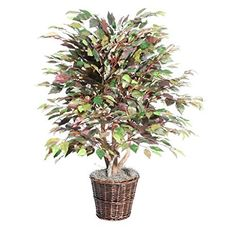 4' Mystic Ficus Extra Full by Vickerman ** Read more  at the image link.