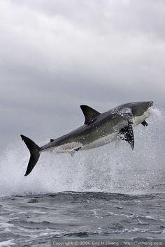 Great white shark breach, False Bay, Simonstown, S.Africa // Eric Cheng's Journal (click for more photos)