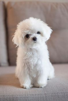Maltese - Oh my goodness!!  I want to cuddle this fluffy little thing!  :D  <3
