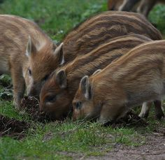 Boar piglets (lil b-turds are rooting)