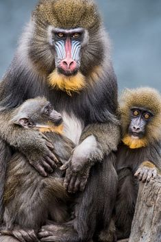mandrill family Primates, Mammals, Nature Animals, Animals And Pets, Strange Animals, Beautiful Creatures, Animals Beautiful, Mandrill Monkey, Tier Fotos