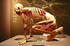 Bodies Revealed, Niagara Falls Picture: Exhibits include human bodies and more than 180 individual human organs and body parts preserved - Check out TripAdvisor members' candid photos and videos of Bodies Revealed Body Anatomy, Anatomy Art, Human Anatomy, Gunther Von Hagens, Bodies Exhibit, Mind Blowing Images, Medical Imaging, Anatomy And Physiology, Human Art
