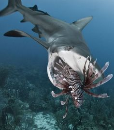 Amazing timing!...though, I'd love to see the shark's reaction when the Lionfish venom hits him!: