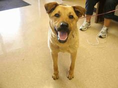TX - Needs People to help rescue - consider fostering for Your Local Shelter Animals and volunteering for adoption events. - *NEED ADOPTION/RESCUE INTEREST EMAILED BEFORE 7AM TOMORROW!* A200594 I am an unaltered female, tan black German Shepherd Dog