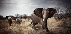 Absolutely Breathtaking African Wildlife Photography by Klaus Tiedge - My Modern Metropolis Elephant Photography, Wildlife Photography, Photography Gallery, Art Photography, Photography Office, Powerful Pictures, Elephant Walk, Modern Metropolis, African Animals