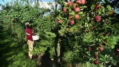 Miracle Farms, a commercial permaculture orchard in Southern Quebec. Twenty years ago, Stefan Sobkowiak bought a commercial apple orchard. Permaculture Principles, Permaculture Design, Permaculture Garden, Backyard Farming, Organic Farming, Organic Gardening, Quebec, Verger Bio, Types Of Plums