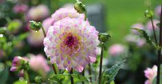 Im Sommer und Spätsommer begeistern uns Dahlien mit ihren farbenfrohen Blüten in Beet und Topf. Wir haben unsere Facebook-User nach ihren Tipps und Tricks zur Pflege der hübschen Blüher gefragt. Hier finden Sie besonders hilfreiche Antworten.
