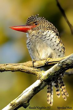 Banded Kingfisher ( Female ) is a tree kingfisher found in the lowland tropical forests of Myanmar, Thailand, Cambodia, Vietnam, Laos. Malaysia, Sumatra, Java and Brunei.