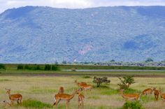 Impala in Lake Manyara, Tanzania - such graceful antelopes - & such an amazing colour