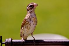 Female Rose-breasted Grosbeak ..very quiet bird ..plain yet beautiful ~ my hubby, John and I always say how it looks like she's wearing eyeliner lol  Tammy Taylor-Kosiba's Photography 2013
