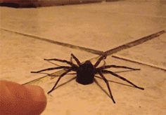 Scaring a spider...Funny and yet terrifying at the same time. Just look at the way it prances!
