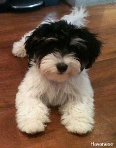 All About Havanese Puppies Brown Source by The post Havanese Puppy Shed appeared first on Daisy Dogs. Dogs And Kids, Little Dogs, I Love Dogs, Havanese Dogs, Pet Dogs, Dog Cat, Havanese Grooming, Doggies, Havanese Puppies For Sale