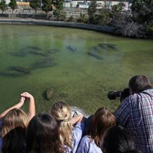 Manatee Viewing Center - Tampa Electric   Open from 10 a.m. to 5 p.m. daily. Best of all, it's free at 6990 Dickman Road in Apollo Beach. Visit from Nov - mid April.