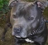 staffordshire bull terrier - Google Search