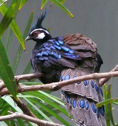 Peacock Pheasant www.dierenplaza.nl