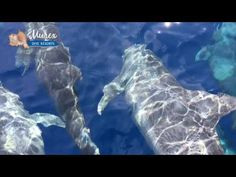Dolphins in Manado Bay - Murex Dive Resorts