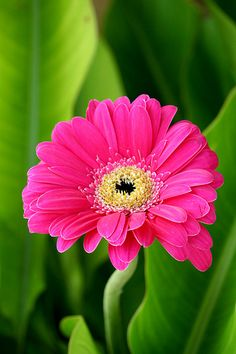 Gerbera Daisy ~ comes in many colors