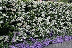pyracantha hedges - Google Search