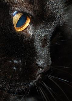 The smallest feline is a masterpiece ~ Leonardo Da Vinci ~ exquisite profile, beautiful black cat