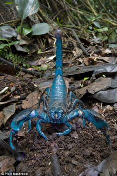 A newly discovered species of scorpion has blue coloring.  Its venom has compounds that are being tested as potential drug therapies.