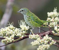 Foto saíra-negaça (Tangara punctata) por Anselmo d`Affonseca | Wiki Aves - A Enciclopédia das Aves do Brasil