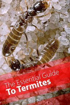 Are you trying to prevent a termite infestation? Here are a few natural home remedies for termite control that work wonderfully as prev Termite Control, Pest Control, Termite Damage, Diy Termite Treatment, Pest Solutions, Home Protection, Citrus Oil, Garden Guide, Garden Pests