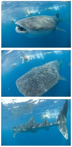 Whale Shark Adventure in Mexico...looks scary but awesome