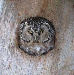 Tengmalm`s Owl (Aegolius funereus). Photographed by Matti Suopajärvi.