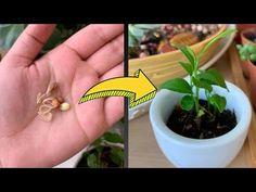Evde limon çekirdeği çimlendirme aşamaları   Saksıda limon filizlendirme - YouTube Habitats, Herbs, Green, Plants, Youtube, Design, Ideas, Herb