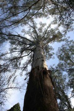 De Eucalyptus regnans is met 99,6 m de hoogste bedektzadige plant ter wereld, alleen de kustmammoetboom is als naaktzadige nog hoger. #Eucalyptus #giant tree #seeds #tropical #plant #planting #Onszaden