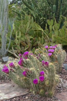 A scenic view of Ottosen Entry Garden showcasing the pink Engelmann hedgehogs that are currently blooming.