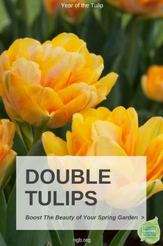 Double tulips helps to boost the beauty of your spring garden. Their fragrant flowers look more like roses or peonies, with layers of silky petals. Tulips Garden, Garden Bulbs, Daffodils, Planting Flowers, Summer Bulbs, Spring Bulbs, Organic Gardening, Gardening Tips, Gardening Supplies
