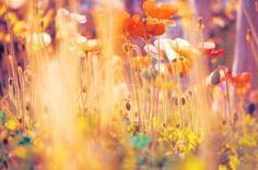 red and orange poppy photo, flower photography, whimsical garden art, photograph of poppies, rainbow, warm sunshine, I am Alice nature print